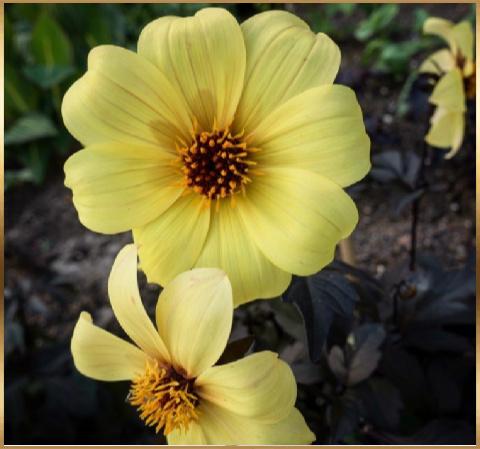 yellow flowers PC gardentealounge